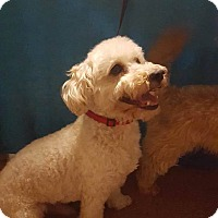 Adopt A Pet :: Buddy - Livermore, CA