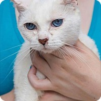 Adopt A Pet :: Maria Sinatra 'Blue Eyes' - Woodland Park, NJ