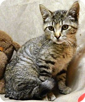 Domestic Shorthair Kitten for adoption in Columbus, Nebraska - Marlene