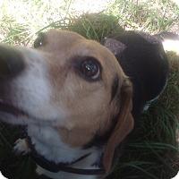 Adopt A Pet :: Sydney - Kendall, NY