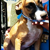Boxer/Beagle Mix Puppy for adoption in Pipe Creek, Texas - Duchess