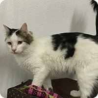 Turkish Van Cat for adoption in Redding, California - Willow