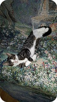 Domestic Shorthair Kitten for adoption in Smithfield, North Carolina - Bray
