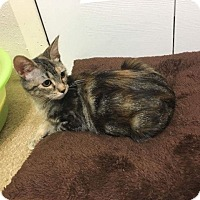Domestic Mediumhair Kitten for adoption in Mansfield, Texas - Peanut
