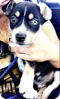 Border Collie/Collie Mix Puppy for adoption in Boulder, Colorado - Blazer