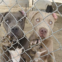 Pit Bull Terrier Mix Dog for adoption in Lancaster, California - Petunia