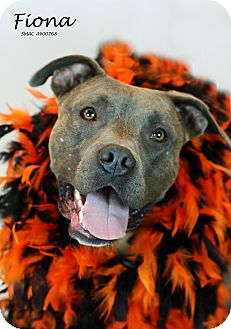 American Pit Bull Terrier/American Staffordshire Terrier Mix Dog for adoption in Santa Maria, California - Fiona