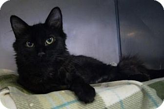 Domestic Longhair Cat for adoption in New Milford, Connecticut - Staryu