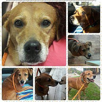 Labrador Retriever Dog for adoption in Summerville, South Carolina - Rose