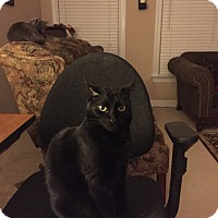 Domestic Shorthair Cat for adoption in Gainesville, Virginia - Vader