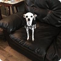 Adopt A Pet :: Spickles - Healdsburg, CA