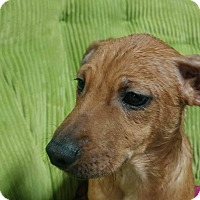 Adopt A Pet :: Poppy - Forest Hill, MD