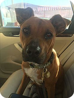 Boxer/Staffordshire Bull Terrier Mix Dog for adoption in San Diego, California - Miley
