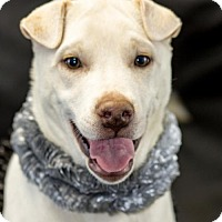 Shar Pei Mix Puppy for adoption in New City, New York - Marilyn Monroe