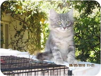 Domestic Mediumhair Kitten for adoption in Los Angeles, California - Squeakie