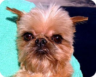 ASPEN - ADOPTION PENDING   Adopted Dog   Seymour, MO ... Adopt A Brussels Griffon Puppy