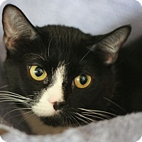 Domestic Shorthair Cat for adoption in Canoga Park, California - Kenya