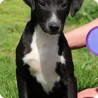 Adopt A Pet :: Blossom~ meet me! - Glastonbury, CT
