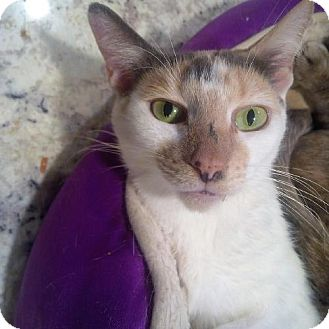 Domestic Shorthair Cat for adoption in Woodland Park, New Jersey - Funny Face
