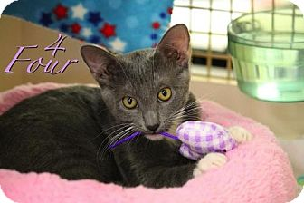Domestic Shorthair Kitten for adoption in Richardson, Texas - Four-13381