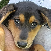 Adopt A Pet :: Clarabelle - Germantown, MD