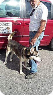 Siberian Husky Mix Dog for adoption in Watha, North Carolina - Nukilik