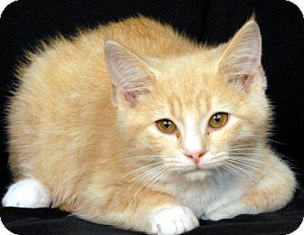 Domestic Shorthair Cat for adoption in Newland, North Carolina - Fluff Buff