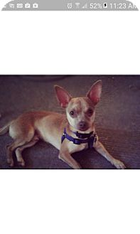 Chihuahua Mix Dog for adoption in Thousand Oaks, California - Tyson