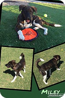 Shepherd (Unknown Type) Mix Puppy for adoption in Scottsdale, Arizona - Miley