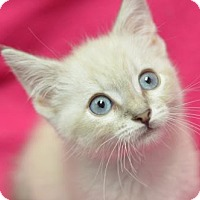 Adopt A Pet :: Wagashi161719 - Atlanta, GA