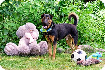 Rottweiler/Shar Pei Mix Dog for adoption in Vancouver, British Columbia - Brody