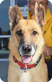 German Shepherd Dog Dog for adoption in Gretna, Nebraska - Hope