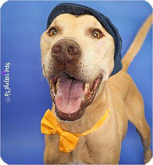 Labrador Retriever/Great Dane Mix Dog for adoption in Phoenix, Arizona - Titan