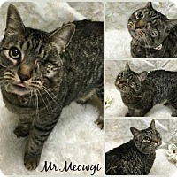 Domestic Shorthair Cat for adoption in Joliet, Illinois - Mr. Meowgi