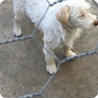Standard Schnauzer/Westie, West Highland White Terrier Mix Puppy for adoption in Seattle, Washington - Molly - Squeezy cute pup!