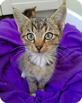 Domestic Shorthair Kitten for adoption in Smithtown, New York - Poinsettia