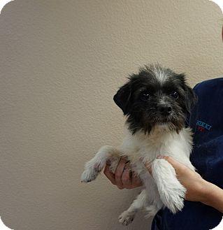 rocky adopted dog oviedo fl cairn terriershih tzu mix