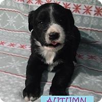 Adopt A Pet :: Autumn - Batesville, AR