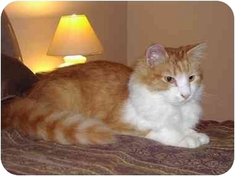 Domestic Longhair Cat for adoption in Vails Gate, New York - Peanut