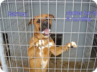 Boxer/Labrador Retriever Mix Dog for adoption in Windsor, Missouri - Barney Pal
