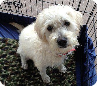 Terrier (Unknown Type, Small)/Border Terrier Mix Dog for adoption in Phoenix, Arizona - Jasper