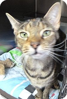 Domestic Shorthair Cat for adoption in St. Petersburg, Florida - Lola