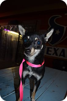 Chihuahua Mix Dog for adoption in Houston, Texas - Medel