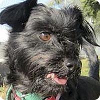Adopt A Pet :: Schnitzel URGENT - Sacramento, CA