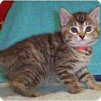 Adopt A Pet :: Blossom - Reston, VA