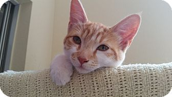 Domestic Shorthair Cat for adoption in Mountain Center, California - Lilo