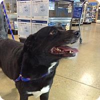 Border Collie/Labrador Retriever Mix Dog for adoption in Royal Palm Beach, Florida - RONA