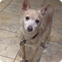 Chihuahua Dog for adoption in Levittown, New York - Jackie