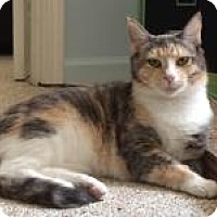 Calico Cat for adoption in Duluth, Georgia - Amber