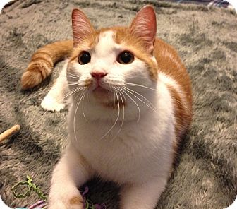 Domestic Shorthair Cat for adoption in Mount Laurel, New Jersey - Paprika *EXTRA TOES*